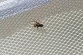 Fly (25752329253).jpg