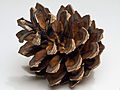 Focus stacked pine cone.jpg