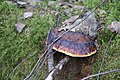 Fomitopsis pinicola 115191640.jpg