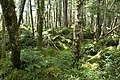 Forest in Yatsugatake 39.jpg