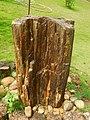 Fossil Tree JNTBGRI.jpg