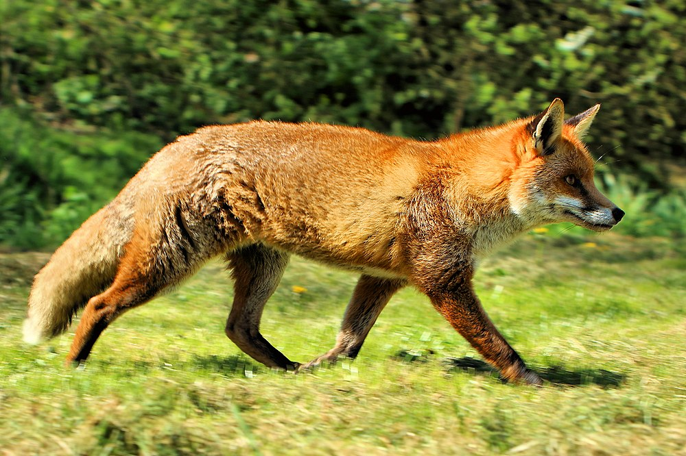 The average litter size of a Red fox is 4
