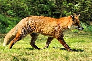 Red fox species of mammal