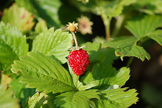Fragaria vesca berry2.JPG