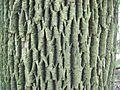 Fraxinus americana-bark.jpg