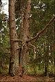 Friendly pines - panoramio.jpg