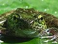 Frog Amolops sp. 1.jpg