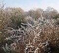 Frost, Gwern-yr-ychain Dingle - geograph.org.uk - 1115410.jpg
