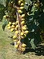 Fruit in August 2017 Mosonmagyaróvár.jpg