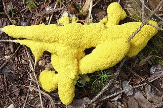 "Slime mold - Fuligo septica, the ""dog vomit"" slime mold."