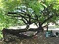 Funny Tree - panoramio.jpg