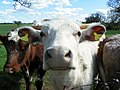 GOC Willian & Weston Hills 053 Cute cows (20649929849).jpg