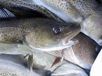 Whitefish (fisheries term) - White fish (Atlantic cod)