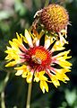 Gaillardia aristata with bee - GBA Viote 42.jpg
