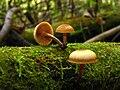 Galerina autumnalis 61363.jpg