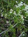 Galium aparine flowers RJP 01.jpg