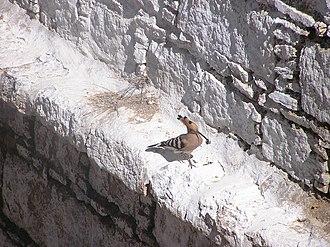 Hoopoe - Hoopoe nesting at Ganden Monastery, Tibet
