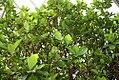 Gardenia jasminoides 10zz.jpg
