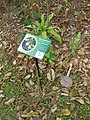 Gardenology.org-IMG 7296 qsbg11mar.jpg