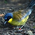 Garrulax courtoisi -Audubon Zoo, New Orleans, Louisiana, USA-8a.jpg