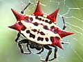Gasteracantha cancriformis-female.jpg