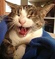 Gatto europeo che sbadiglia - cat yawn.JPG