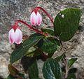 Gaultheria adenothrix s2.jpg