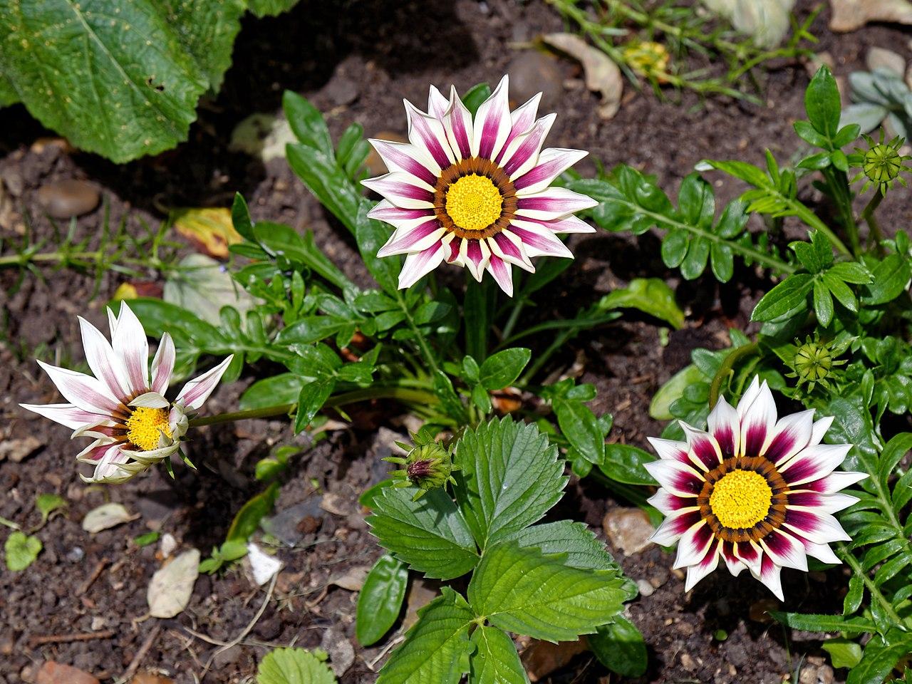 File:Gazania cultivar at Boreham, Essex, England.jpg ...