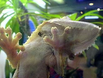 Van der Waals force - Gecko climbing a glass surface