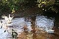 Geese on the Humber Brook, Risbury - geograph.org.uk - 280995.jpg