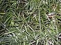 Geitonoplesium cymosum foliage topview.jpg