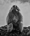 Gelada Baboon, Simien Mtns, Ethiopia (15528739017).jpg