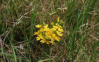 Genista-anglica-flower-head