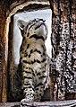 Geoffroy's Cat (Leopardus geoffroyi)-1.jpg