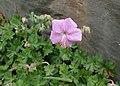 Geranium dalmaticum kz01.jpg