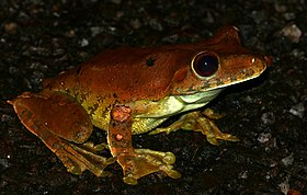 Giant Gladiator Treefrog (Hypsiboas boans) on the road ... (24076166977).jpg