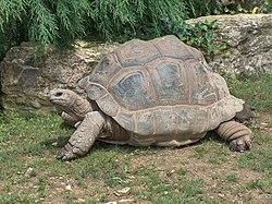 Une tortue géante des Seychelles