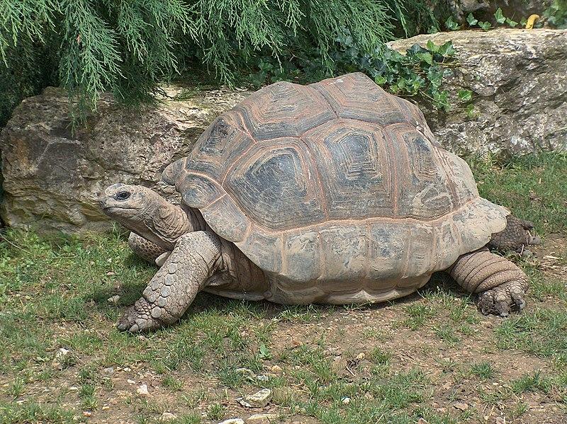 TORTUE GEANTE DES SEYCHELLES 800px-Giant_Tortoise