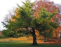 ginkgo biloba träd