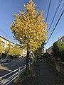 Ginkgo biloba trees near Kashiihama Crossroads 2.jpg