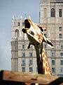 Giraffa camelopardalis 03.JPG