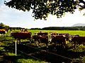 Glückliche Kühe - panoramio (1).jpg