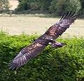Golden Eagle 5a (6022359687).jpg