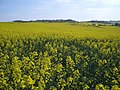 Golden Fields at Walsey Hills - geograph.org.uk - 409398.jpg
