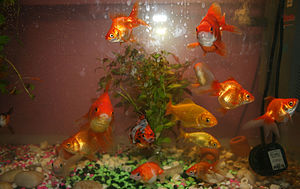 English: Many breeds of goldfish shown togethe...