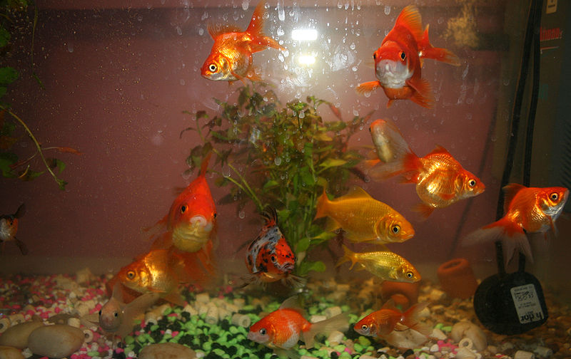 http://upload.wikimedia.org/wikipedia/commons/thumb/1/16/Goldfish_community.JPG/800px-Goldfish_community.JPG