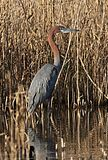 Goliath Heron, Ardea goliath at Marievale Nature Reserve, Gauteng, South Africa (29321417222).jpg