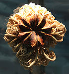 Gorgonocephalus caryi - basket star - Smithsonian Museum of Natural History - 2012-05-17.jpg