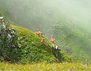 West Caucasian tur - West Caucasian turs in the wild nature. Territory of Caucasus Biosphere Reserve