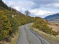 Gorse bushes in flower beside the road - geograph.org.uk - 760939.jpg